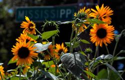 South Memphis sunflowers