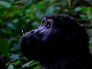 lowland-gorilla-smalljpg
