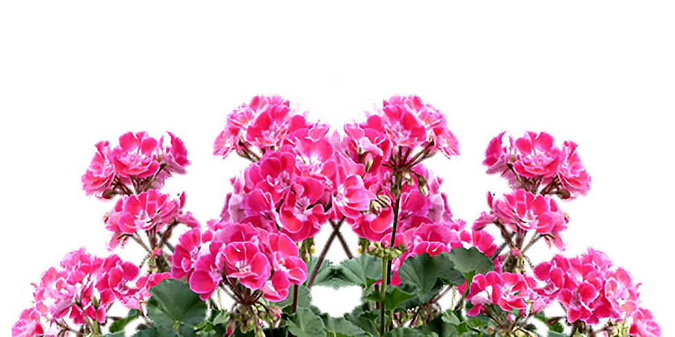 """Bedford GC, """"Geranium-Perennial Sale"""""""
