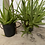 Thumbnail: Over grown aloe Vera