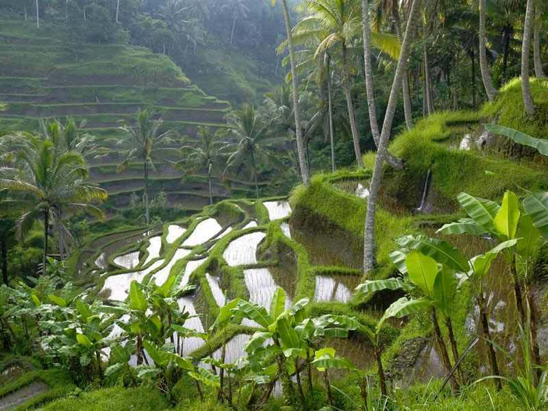rice field,Tegallalang