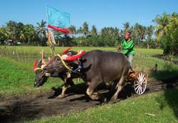 bull racing, Negara