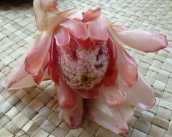 bongkot flower (torch ginger)