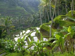 rice field, Tegallalang