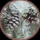 Circle-Arctic-Pine.png
