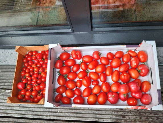 Our first harvest from our tomato farm