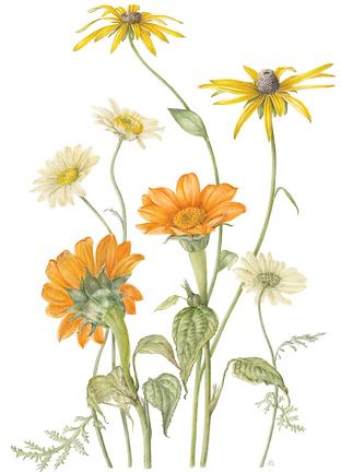 80_Argyranthemum_SPond.png