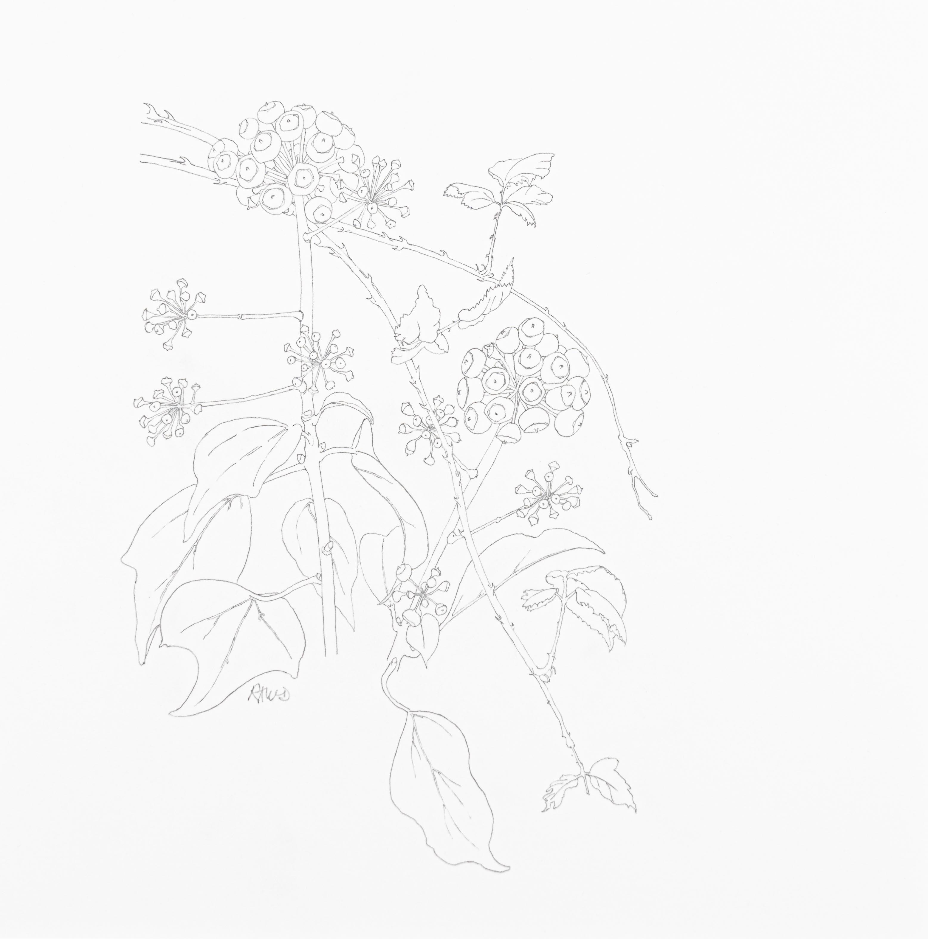 Hedera helix and Rubus fructicosus