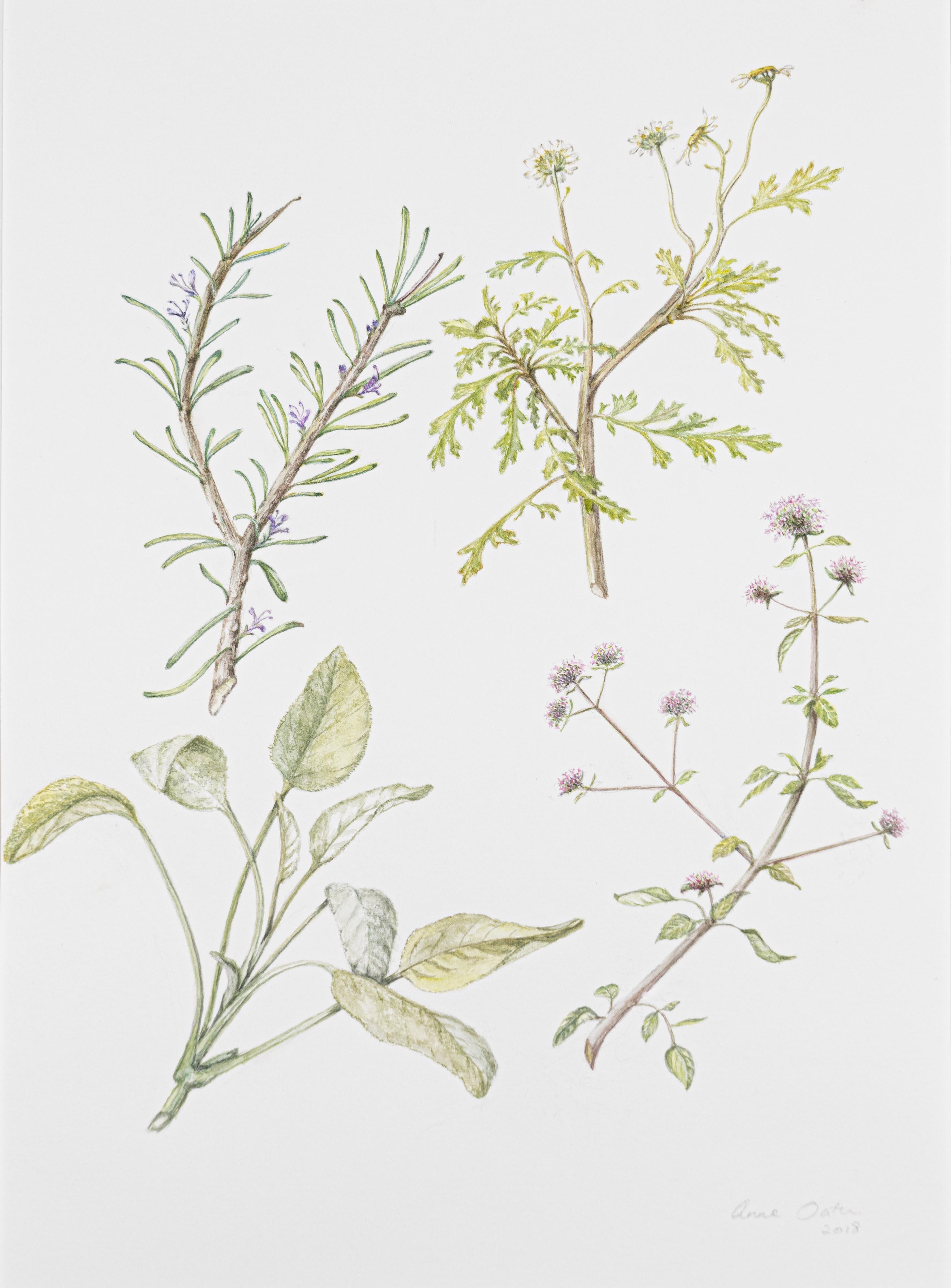 Rosemarinus officinalis Tanacetum