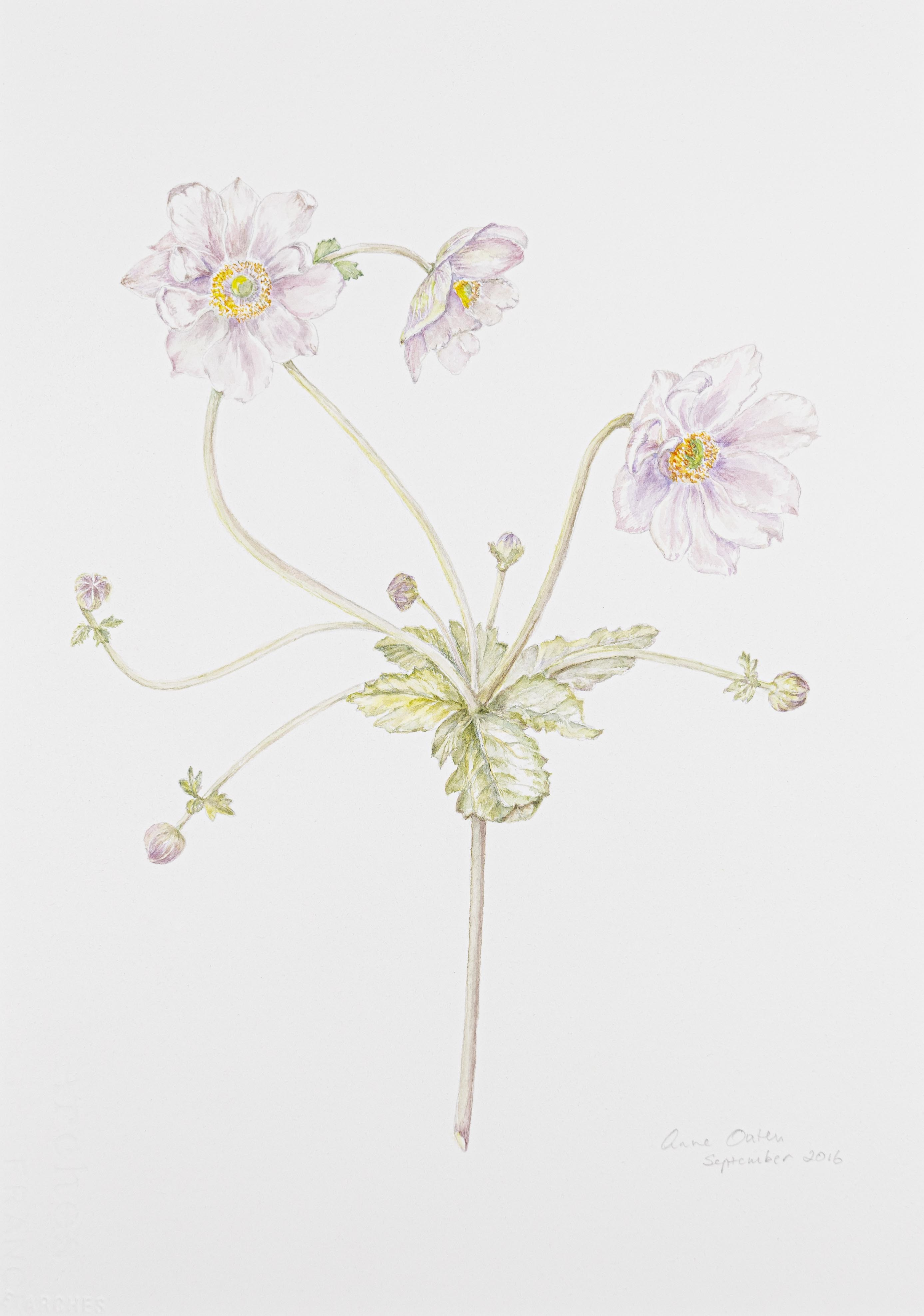 Anemone hupehnsis