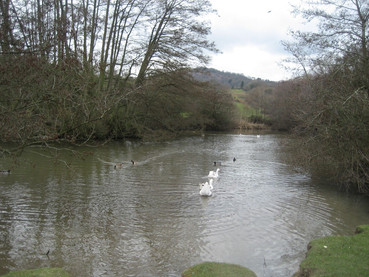 Geese Swimming Away