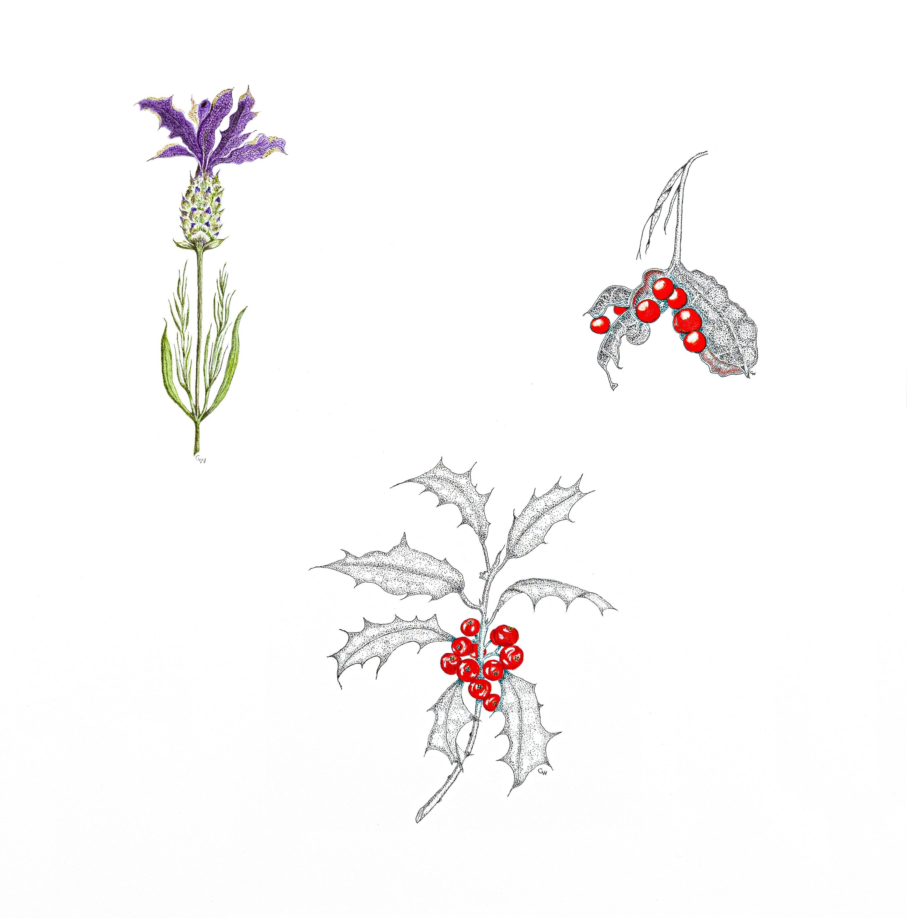 Ilex, Iris foetidissima, Lavendula