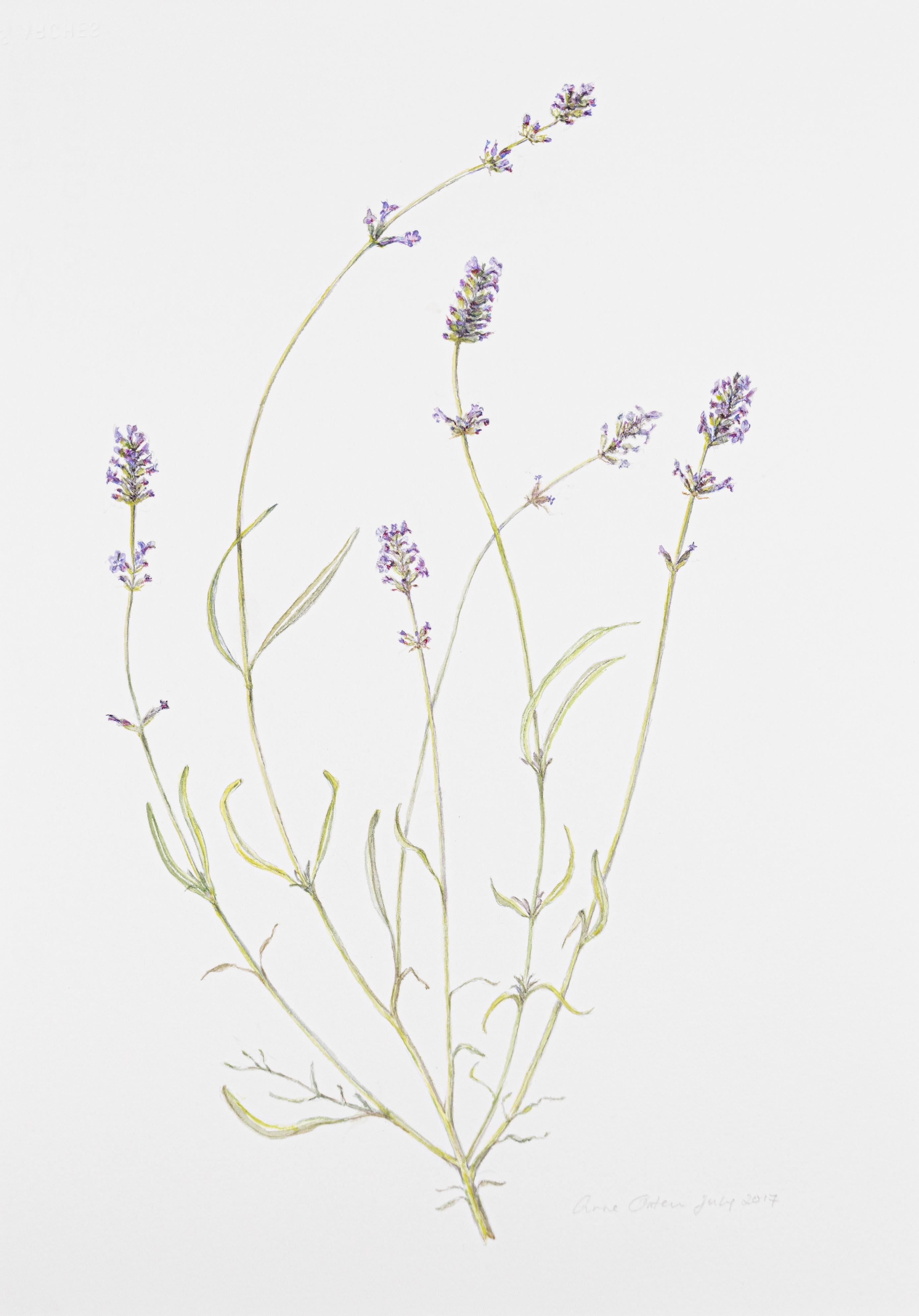 Lavendula angustifolia