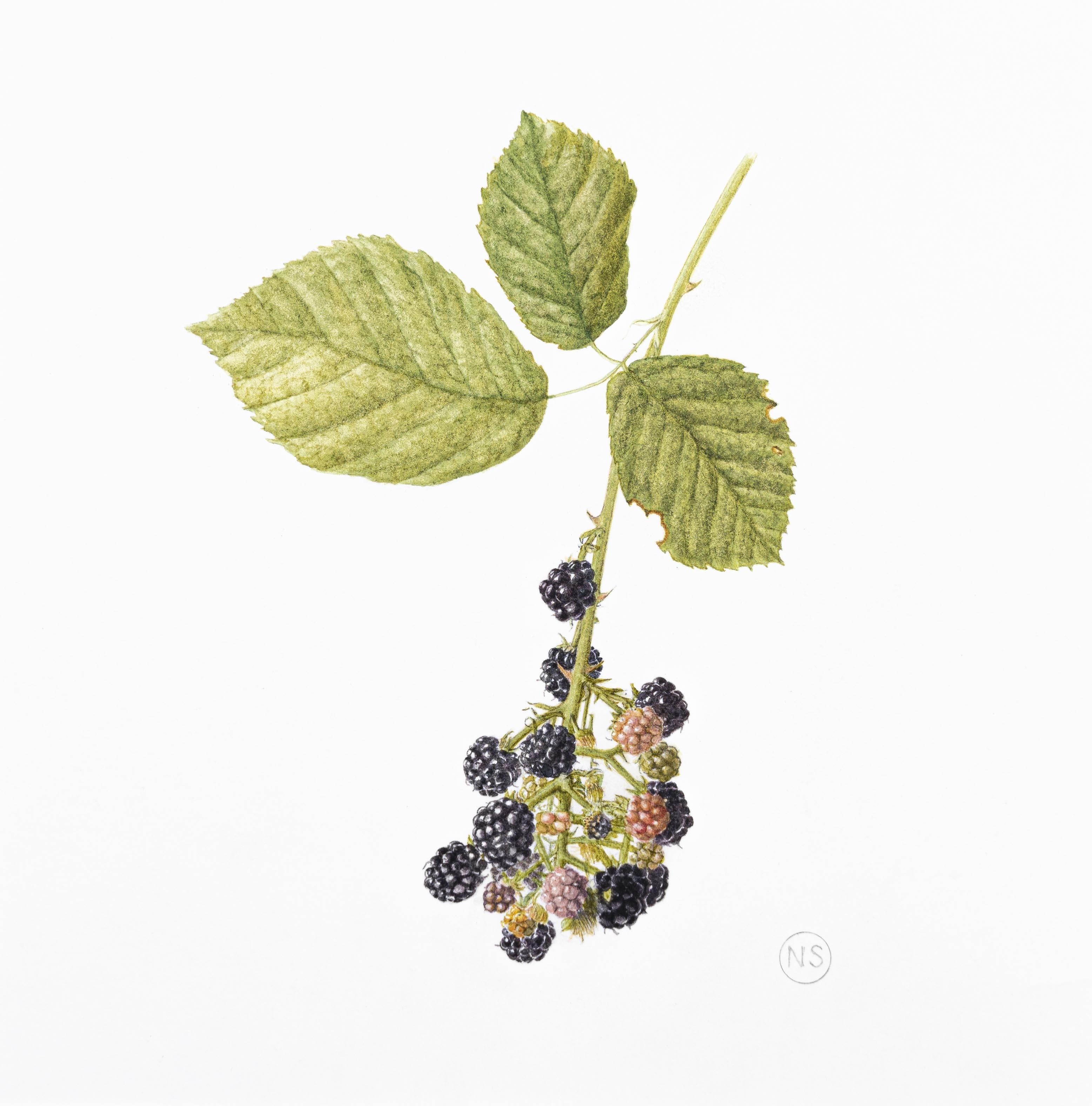 Rubus fruticosus agg.