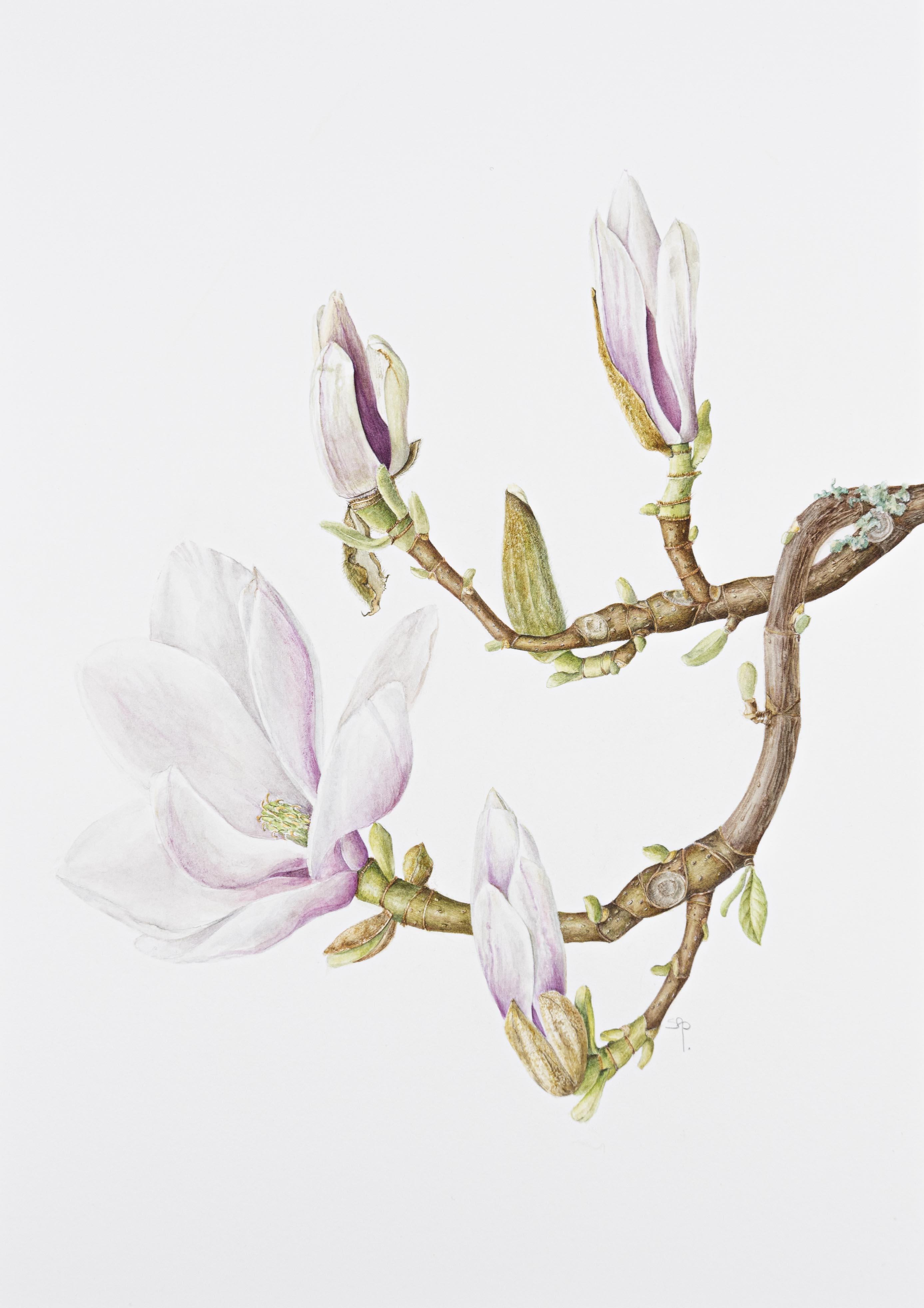 Magnolia x soulangeana