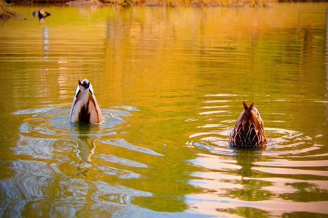 two ducks with their heads under the water, their butts up