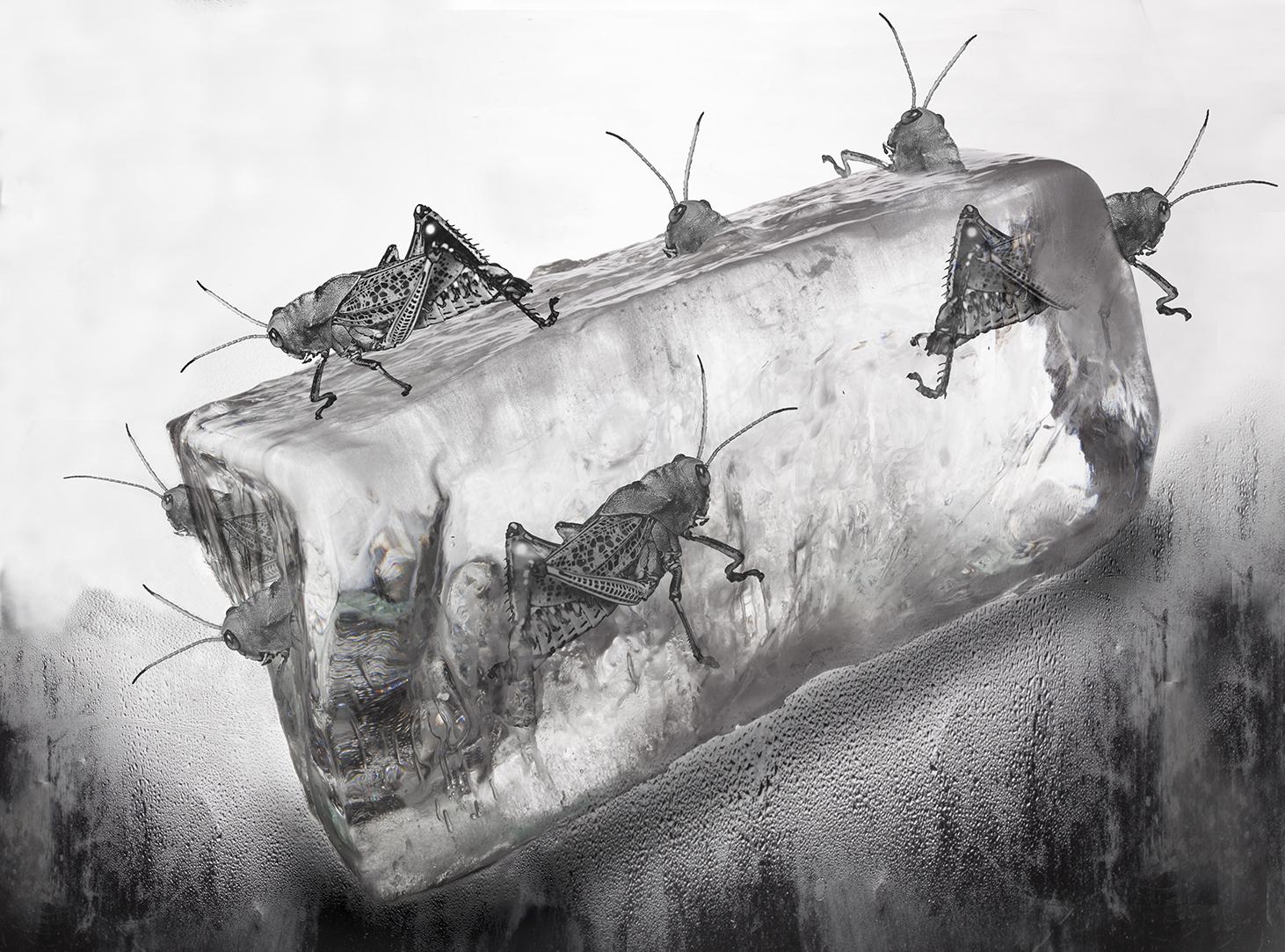 hielo-grillo