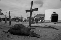 Sacrificed bull