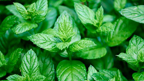 Awesome facts about peppermint