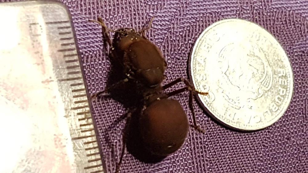 Fourmi de plus de 2 cm