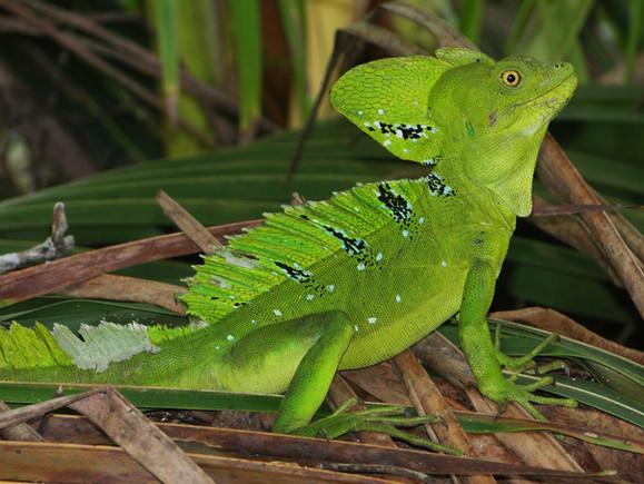 Basilic vert, Emerald Basilisk, Basiliscus verde