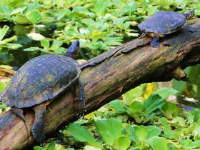 tortue, turtle, tortuga