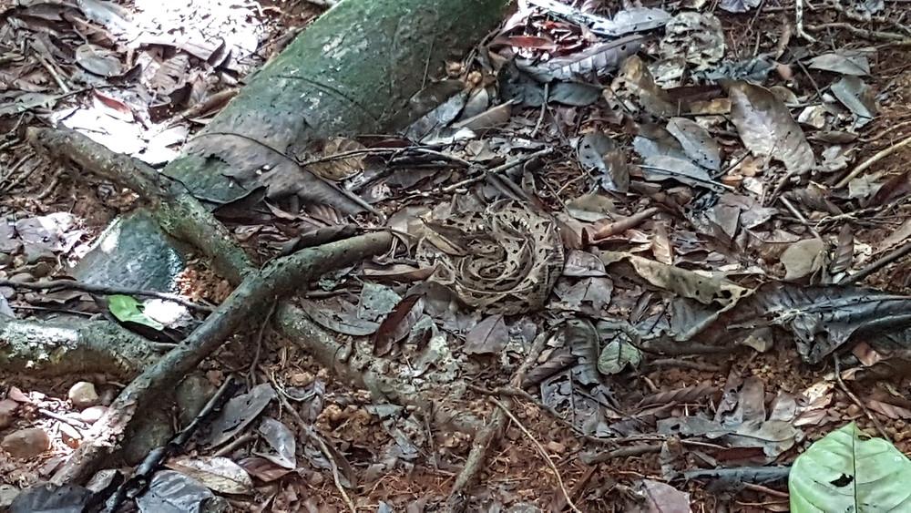 Un serpent dissimulé dans les feuilles et les racinee
