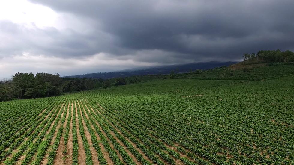 Plantation de café avant l'orage