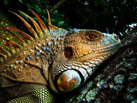 Iguane/Iguana/Iguana