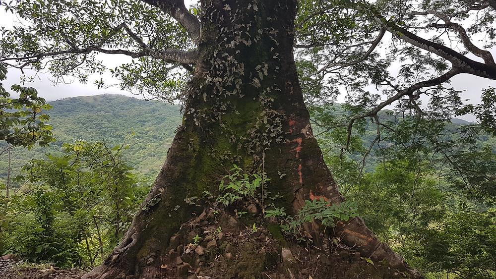 Un arbre centenaire dans la fôret tropicale du Costa Rica