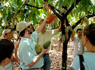 Discover the history of chocolate in a cocoa plantation