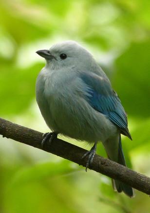 Blue-Gray Tanage, viuda,