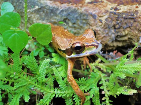 Grenouille/Frog/Rana