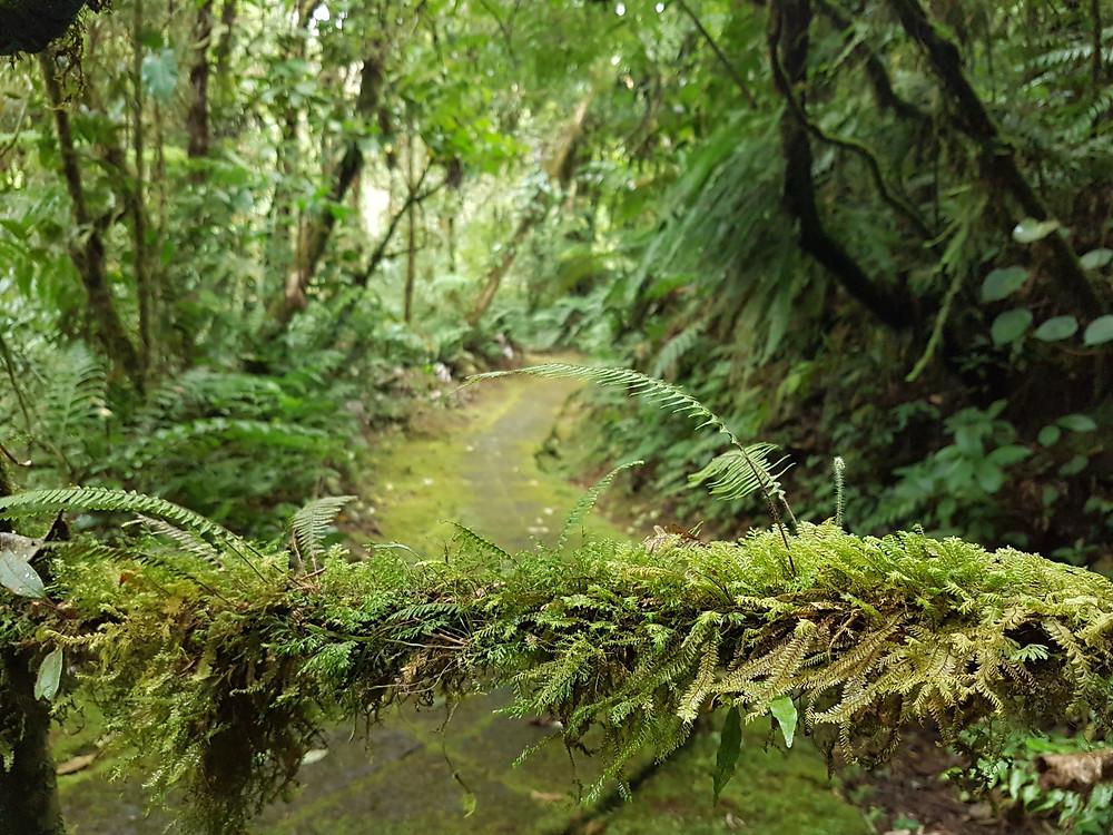 Un sentier verdoyant s'enfonçe dans la forêt tropicale