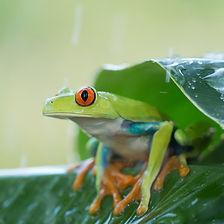 grenouille saison des pluies