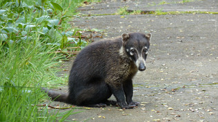 Coati, Pizote, white-nosed coati