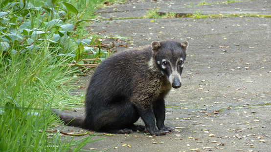 Coati, Pizote, white-nosed coati