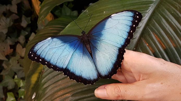 Papillon  Morpho/Butterfly Morpho/Mariposa Morpho