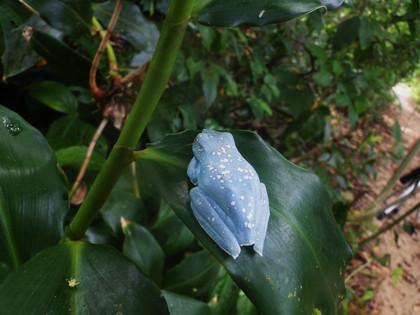 Blue frog, grenouille bleu,