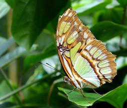 Papillon /Butterfly /Mariposa