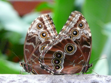 duo de papillons/Duet of butterflies/Duo de mariposas