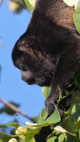 Singe hurleur, Howler Monkey, Mono congo