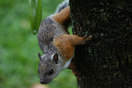 Ecureuil/Squirrel/Ardilla