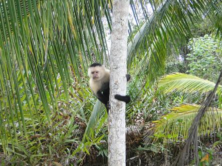Singe capucin, capuchin, mono