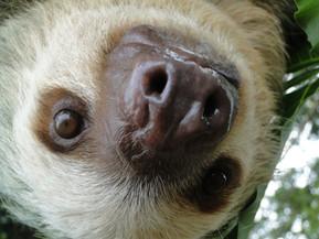 Sloth, perozoso, paresseux