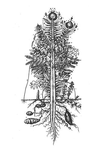 Pflanzenmethamorphose.jpg