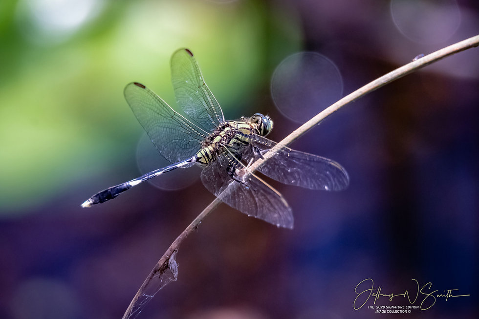 Dragonfly with wings open.jpeg