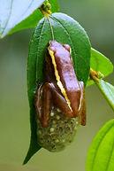 Chiromantis hansenae
