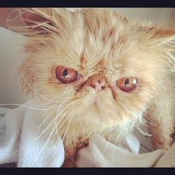 Elliot Persian Cat Feb 2012