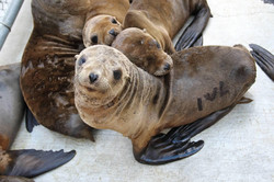 Marine Mammal Center Seal Pups 2013